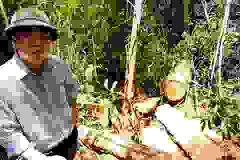 Không loại trừ khả năng có tổ chức tiếp tay phá rừng pơ mu khu vực biên giới Việt - Lào