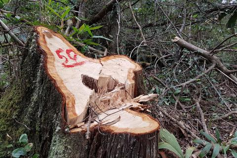 Vụ phá rừng pơmu: Ủy ban Kiểm tra Tỉnh ủy Quảng Nam vào cuộc