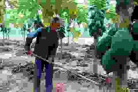 Quảng Nam: Đu đủ mất mùa mất giá, nông dân lo lắng