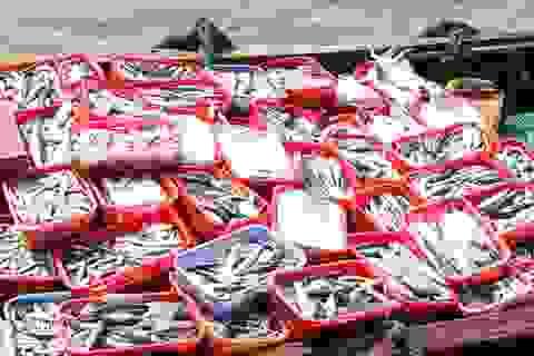 Phát hiện chất Phenol cực độc trong cá nục đông lạnh thu mua ngay sau thời điểm cá chết
