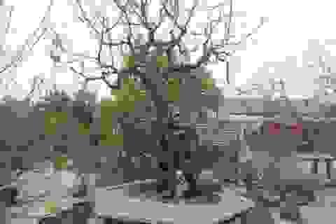Chiêm ngưỡng cây đào phai có giá 200 triệu đồng