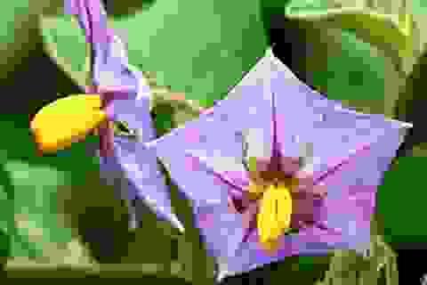Ngộ độc hoa cà, 4 người trong gia đình nhập viện