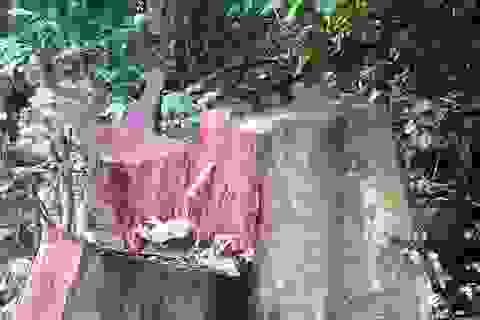 """Vụ rừng đặc dụng """"chảy máu"""": Chỉ khai thác nhỏ lẻ (!?)"""