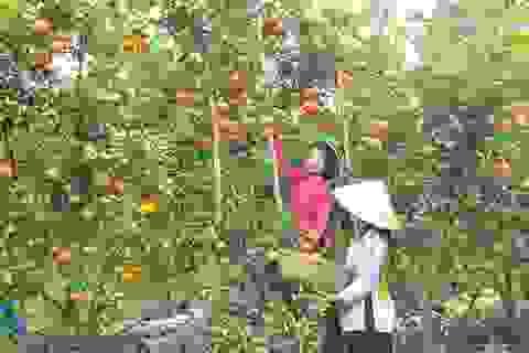 Quýt hồng Lai Vung trúng mùa, được giá