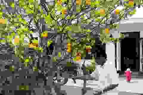 Người trồng mai phương Nam canh cánh lo cái rét Hà Nội