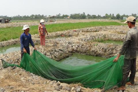 Ồ ạt đào đất ruộng nuôi cá lóc giống vì lãi khủng