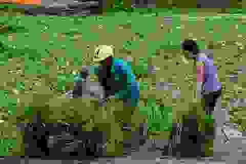 Độc đáo chợ cỏ Ô Lâm mùa nước nổi