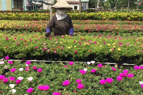 Mưa đêm, ngày nắng gắt… dân trồng hoa Tết lo sốt vó