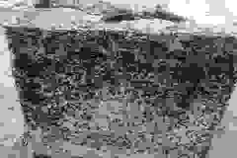 Kiến ba khoang xuất hiện dày đặc ở biển Thiên Cầm