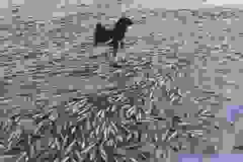 Chú chó đứng hiên ngang trên xác hàng nghìn con cá