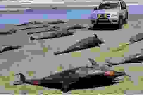 400 cá heo phơi xác trên bờ biển Peru
