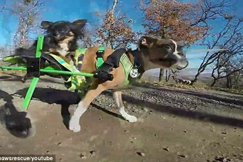 Kinh ngạc: Chó chỉ có hai chân chạy nhanh như... ngựa