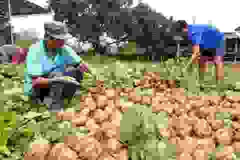 """Đoàn viên Quảng Ngãi """"giải cứu"""" nông sản giúp bà con vùng lũ"""