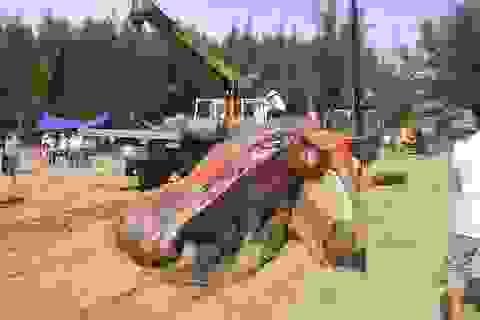 Hơn 5 giờ đội nắng chôn cất cá voi nặng gần 10 tấn