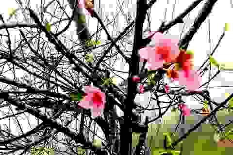 Hoa đào bung nở tuyệt đẹp mang Tết Đinh Dậu đến sớm