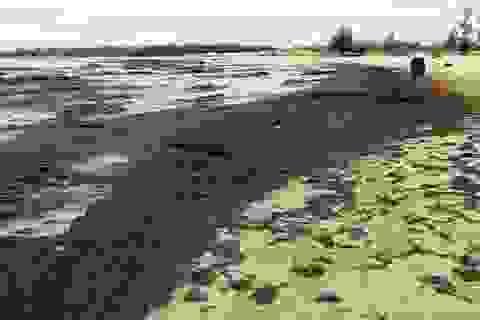 Rong biển dạt dày đặc vào bờ có phải do ô nhiễm?