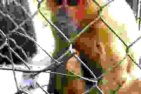Bàn giao khỉ mặt đỏ cho Vườn quốc gia Pù Mát
