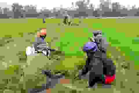 Thiếu nước, hàng trăm ha lúa vụ xuân chưa vào mùa