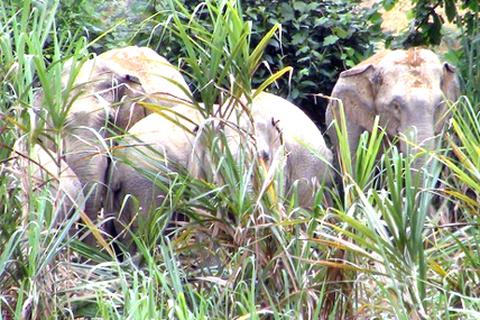 6 con voi rừng kéo về phá hoại hoa màu