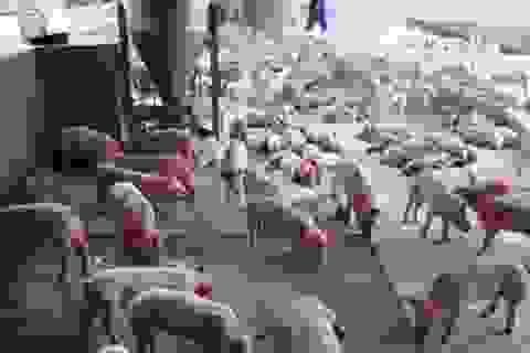 Sử dụng chất cấm trong chăn nuôi có thể bị phạt 20 năm tù