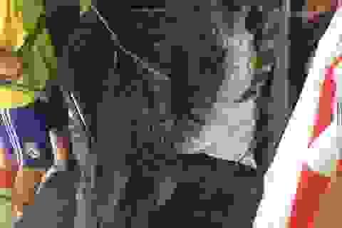 Hà Nội: Bắt tép ở đầm nước, bất ngờ phát hiện cá sấu khủng