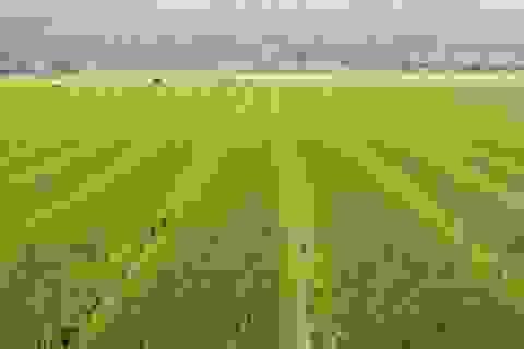 Mô hình sản xuất lúa, cây trồng cạn hiện đại ở Quảng Nam