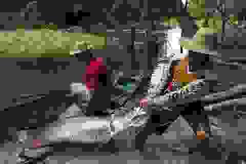 Săn cá hải tượng long khổng lồ ở Brazil