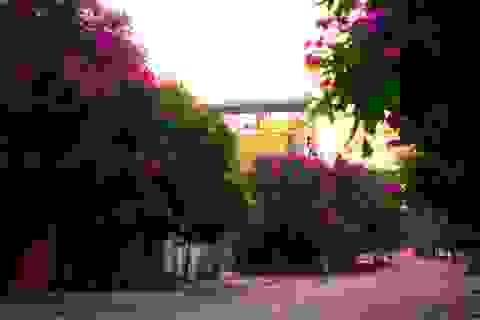 Đường phố Huế thêm lãng mạn bởi sắc tím hoa bằng lăng