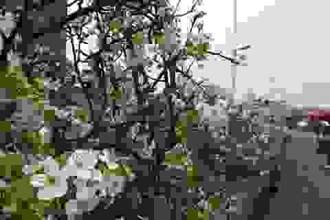 Lê rừng bạc triệu nở trắng chợ hoa Hà Nội