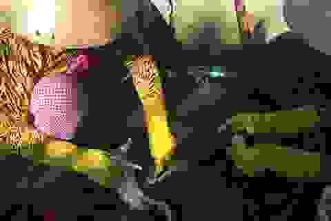 Hậu Giang: Phát hiện cơ sở sử dụng hóa chất để nhổ lông vịt