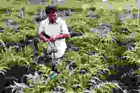 Bỏ phố lên núi trồng Atiso kiếm tiền tỷ