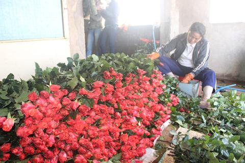 Cận lễ 20/11 hoa Đà Lạt đồng loạt tăng giá mạnh