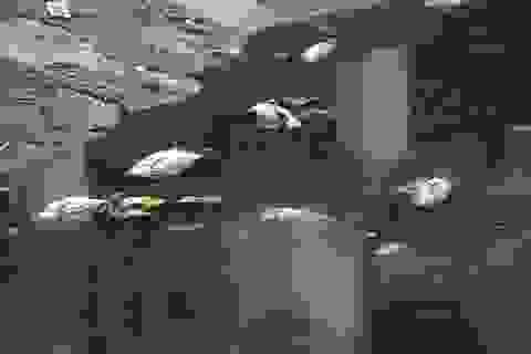 Hà Nội: Khoảng 5 tấn cá chết ở hồ Hoàng Cầu