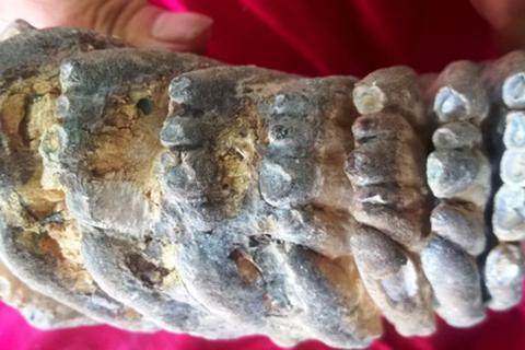 Phát hiện hàm răng hóa thạch nghi của voi ma mút