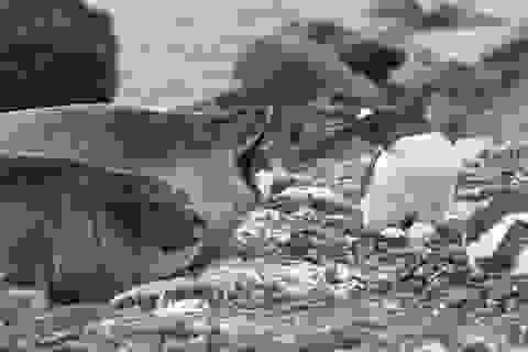 """Ngộ nghĩnh cảnh chim cánh cụt """"đánh lén"""" hải cẩu voi"""