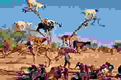 Chiêm ngưỡng loài dê leo cây thoăn thoắt như khỉ ở Maroc