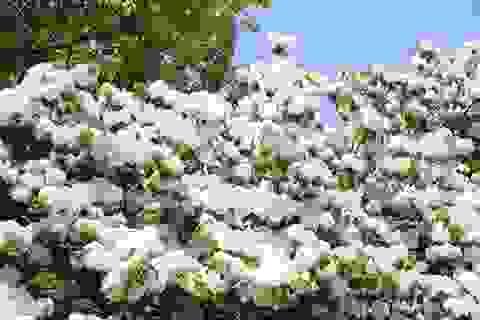 Đến Tây Nguyên ngắm hoa cà phê nở trắng trời