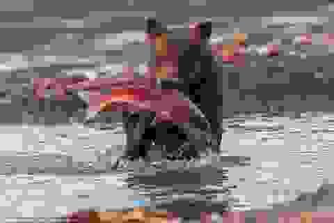 Cận cảnh màn săn cá hồi ngoạn mục của các chú gấu con