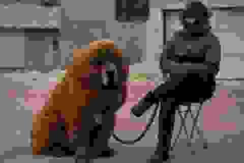 Đại gia chi hơn 40 tỷ đồng mua một chú chó ngao Tây Tạng