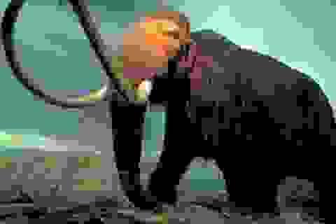 """Các nhà khoa học nỗ lực """"hồi sinh"""" loài voi ma mút"""