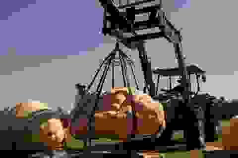 Bí ngô khổng lồ có khối lượng 743kg