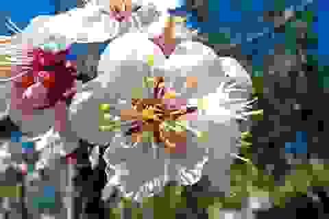 Thuốc từ hoa xuân: ăn mai uống đào