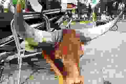 """Công khai chào bán """"đầu bò rừng Châu Phi"""""""