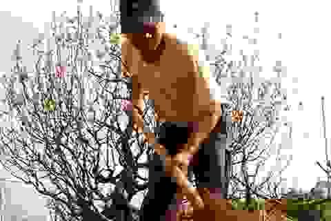 """Hà Nội: Tấp nập """"hồi xuân"""" cho những cây đào"""