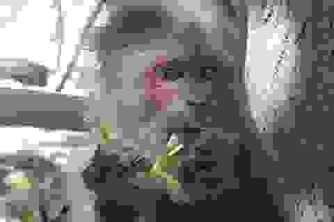 Thả khỉ mặt đỏ và cầy vòi hương về Khu bảo tồn thiên nhiên