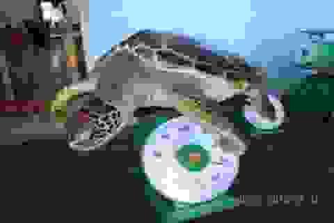 Rùa biển được thả về tự nhiên nhờ du khách