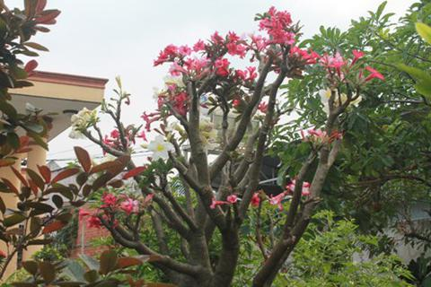 Độc đáo vườn kiểng cây 5 trái, hoa 7 màu