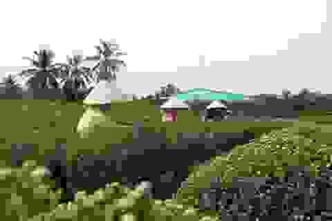 Thời tiết không ủng hộ người trồng hoa tết