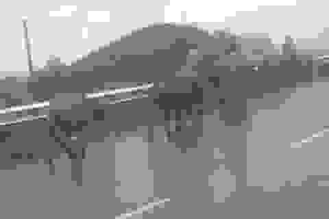 Những đàn trâu Sa Pa đi sơ tán tránh rét hại