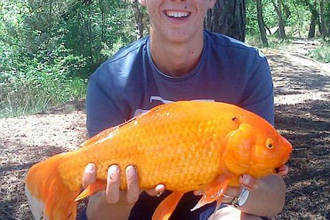 Cá vàng khổng lồ nặng 1,4kg